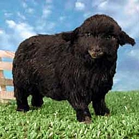 Sheep Black Fur Figurine