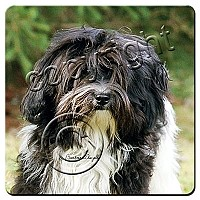 Havanese Black White