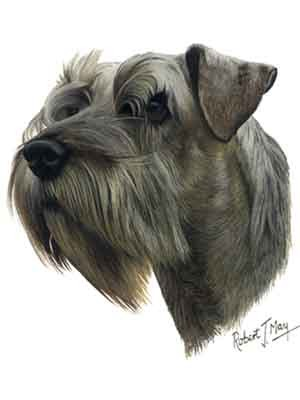 Schnauzer Gray w/Uncropped Ears Greeting Cards Set of 6 *Enevelope NOT included!*