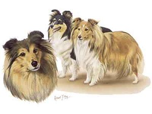 Sheltie Greeting Cards Set of 6 *Enevelope NOT included!*